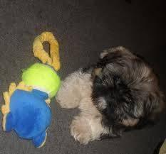 maltese puppy for sale in tn adorable maltese shih tzu mix puppies in east tennessee 897