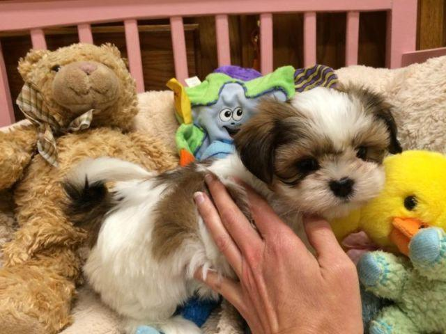 shih tzu puppies for sale in michigan adorable maltese shih tzu puppy for sale in ionia 2850