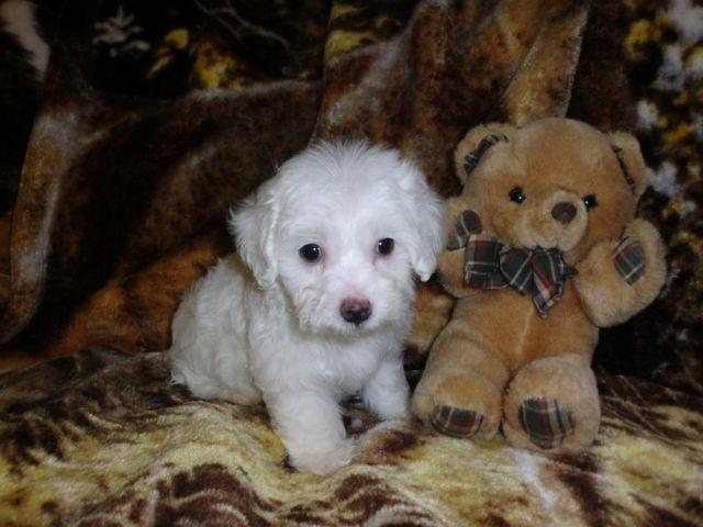 Adorable Malti-poo Puppy For Sale