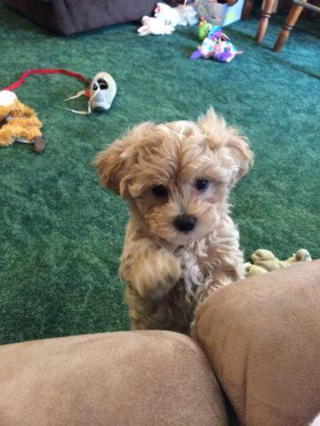 Adorable Malti Poo Puppy Maltese X Toy
