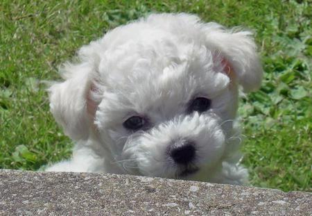 Adorable Maltipoo For Sale In Raleigh North Carolina Classified