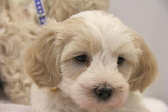 Adorable Maltipoo Puppies 8 Weeks Old For Sale In San