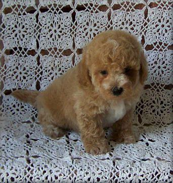 Maltipoo For Sale In Arizona Classifieds Buy And Sell In Arizona