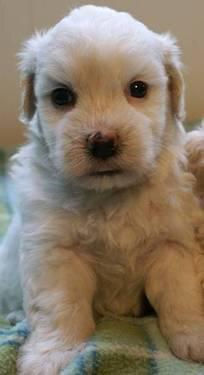 Adorable Maltipoo Puppy..!!