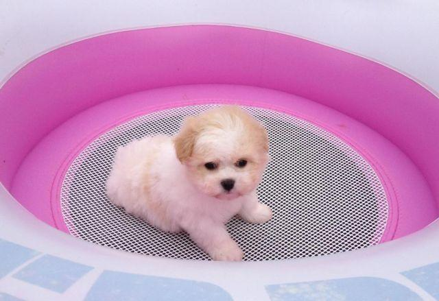 Maltipoo Puppies Near Austin Tx - Pets Wallpapers