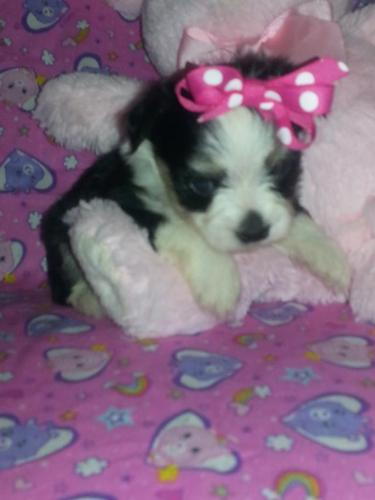 Adorable Maltipoo Yorkiepoo and Chorkie Puppies