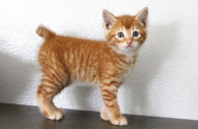 Adorable Marmalade Manx Kittens!