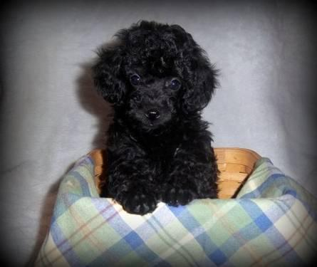 Adorable Massey Toy Poodle Puppy For Sale In Lebanon