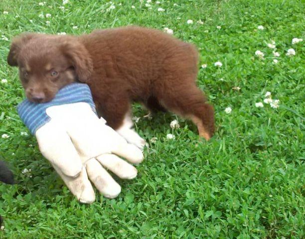 Adorable mini australian shepherd asdr red tri male for sale in