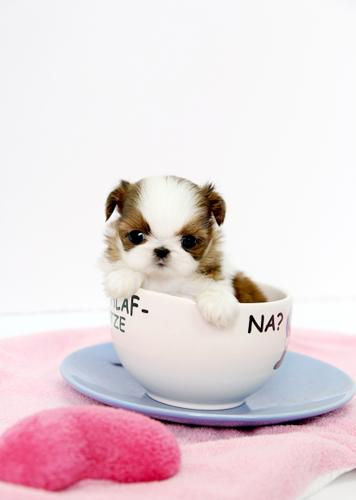 Fabulous teacup shih poos for sale in Florida Classifieds & Buy and Sell in &GL92