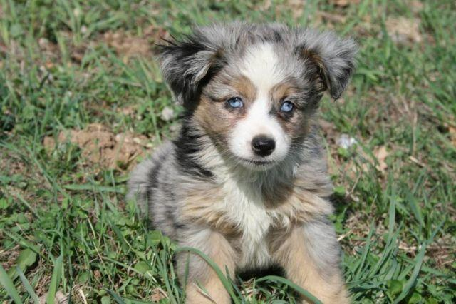 Baxter Ford Omaha >> Adorable Miniature and Toy Australian Shepherds for Sale in Juda, Wisconsin Classified ...