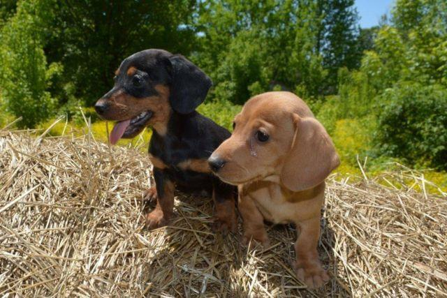 Adorable Miniature Dachshund Puppies For Sale In Suffolk Virginia