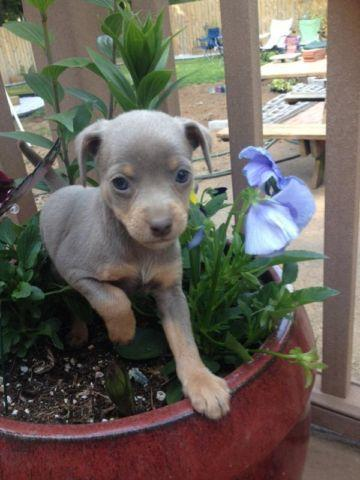 min pin chihuahua mix puppies for sale adorable miniature pinscher and chihuahua mix puppies for 1961