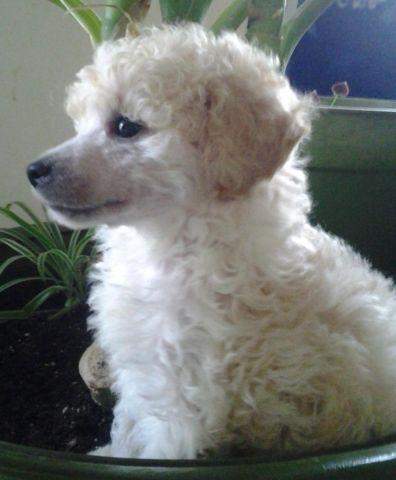Adorable Miniature Toy Poodle Pups 8 Weeks