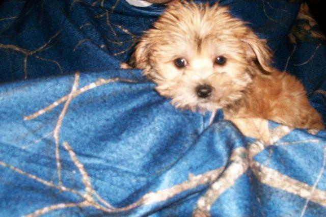 Adorable Morkie Puppies!