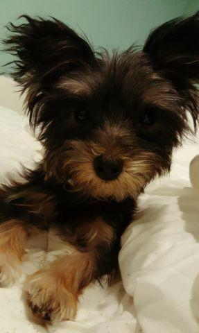 morkie puppies for adoption