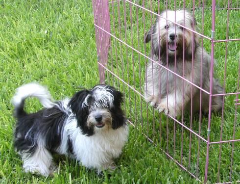 Adorable Non Shedding Havanese Puppies For Sale In Conway South