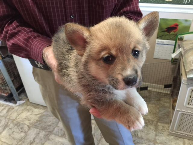 ADORABLE PEMBROKE CORGI PUPPIES