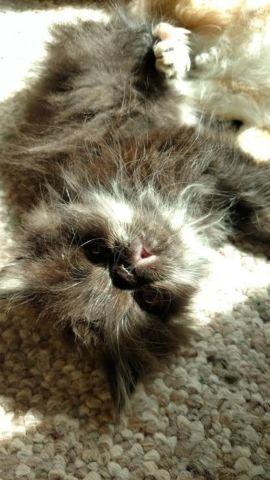 Adorable Persian Kitten - READY NOW