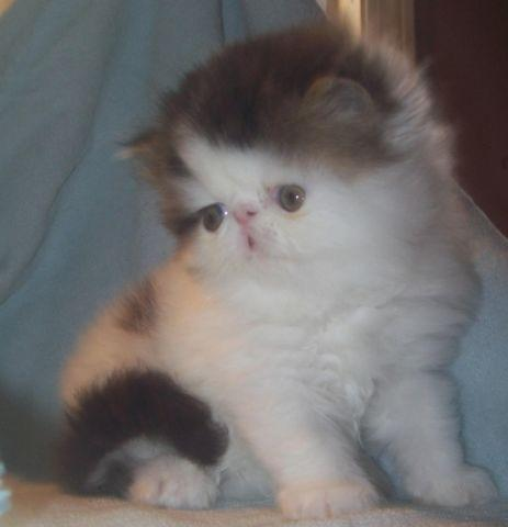 Adorable Persian Kittens (Ready to go soon) Accepting