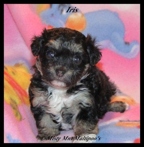 Adorable Phantom Female Maltipoo 4wks Quot Iris Quot For Sale In