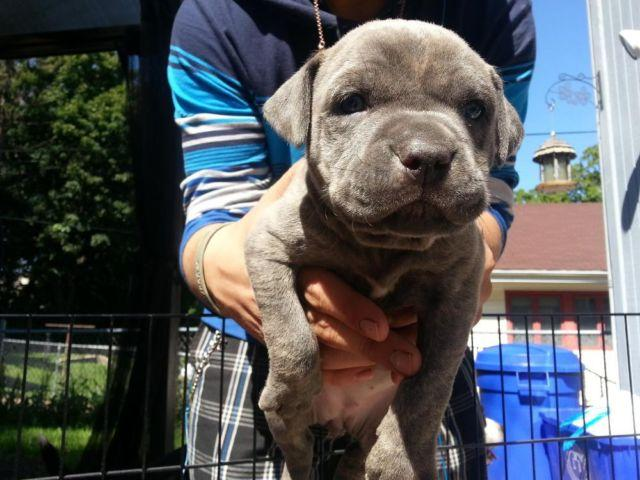 Teacup Puppies Pets And Animals For Sale In Rockford Illinois