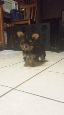Adorable Playful Yorki pup ready for your loving