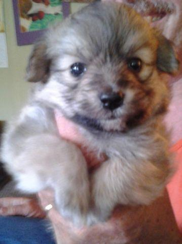 Adorable Pomapoo Puppies For Sale In Alert Indiana