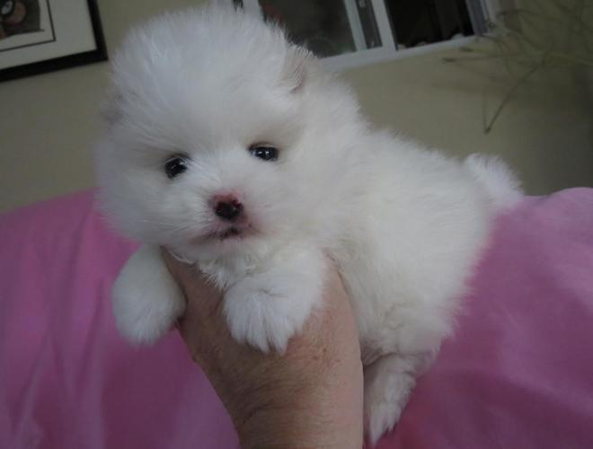 pomeranian for sale in sc adorable pomeranian for sale in simpsonville south 4421