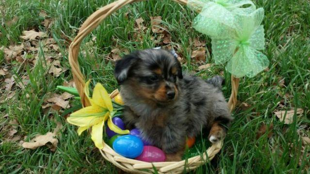 dapple pomeranian adorable pomeranian dachshund mix puppies 8 5 weeks for 703