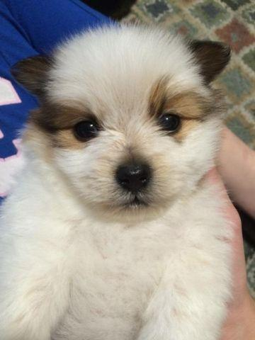 Adorable Pomeranian Puppies For Sale For Sale In San Jose