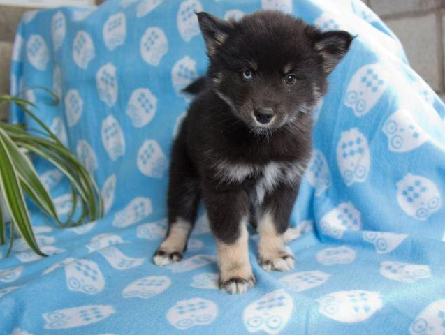 Pomsky For Sale In Ohio Classifieds Buy And Sell In Ohio