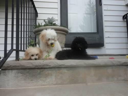 Adorable Poodle Puppies- 15 weeks old