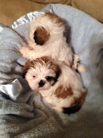 Adorable pre-spoiled shih tzu puppies