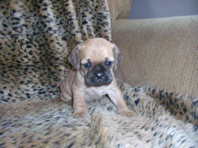 ADORABLE PUCKER PUG/COCKER SPANIEL MIX PUPPIES for Sale in ...