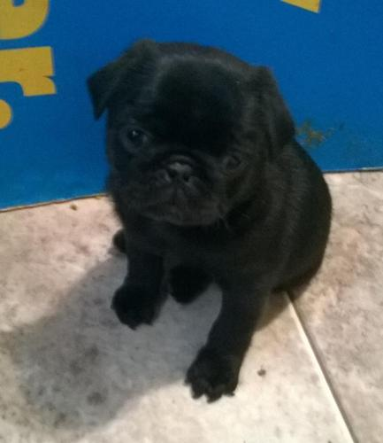 Adorable Pug Puppies C K C For Sale In Chattanooga Tennessee