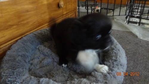 Adorable 12-week-old Japanese Chin/Pug/Schnauzer mix puppy desperately