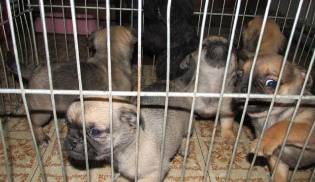 Adorable Pugshih Tzu Mix Puppies For Sale In Donald Washington