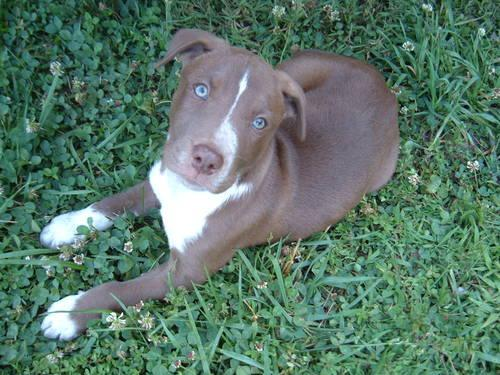 Pitbull Puppies For Sale In Kentucky Classifieds Buy And Sell In