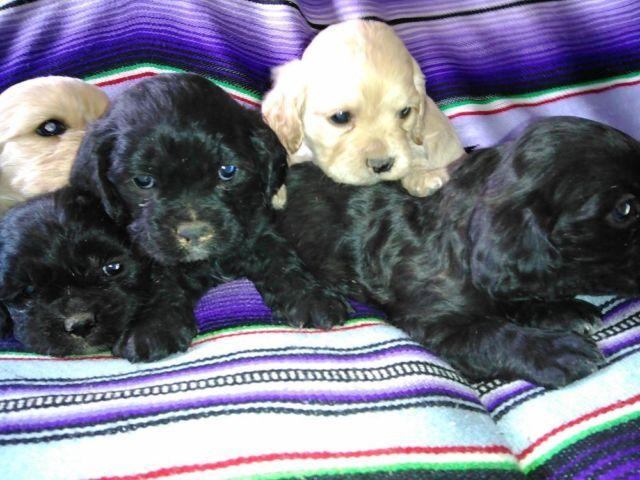 Adorable Puppies Cocker Spaniel Shih Tzu Mixed Breed Pups For