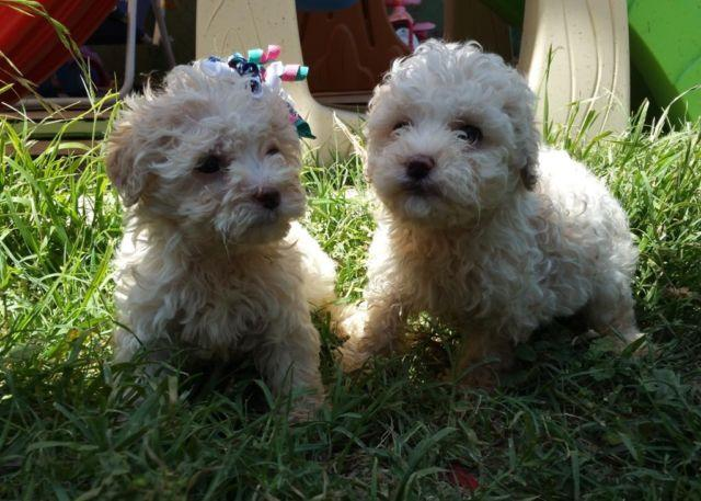 Adorable Puppies French Poodle Toys For Sale In Ontario