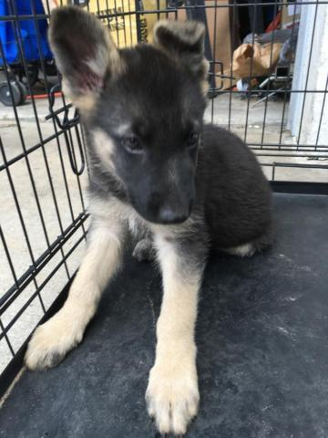 Adorable Pure Breed Registered German Shepherd Puppy