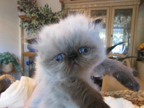 Adorable Purebred Himalayan Persian Kittens For Sale In Portland Oregon Classified Americanlisted Com