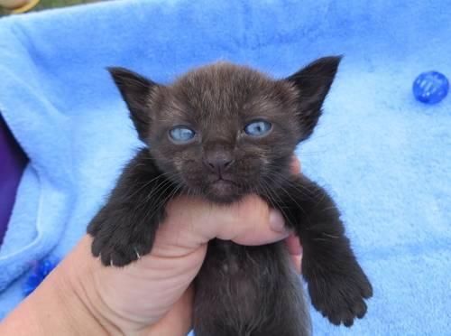 Blue Munchkin Cat