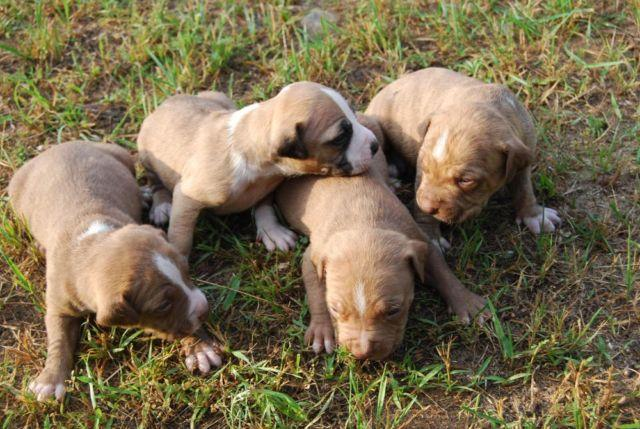 Adorable Purebred Pitbull Puppies 63015 3 Weeks Old For Sale
