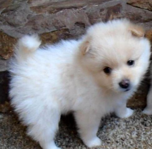 purebred pomeranian puppies adorable purebred pomeranian puppies 8 weeks old for 1395