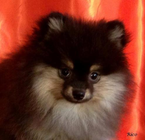 purebred pomeranian puppies adorable purebred pomeranian puppies for sale in 9235
