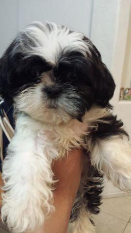 shih tzu purebred adorable purebred shih tzu puppies for sale in tucson 7077
