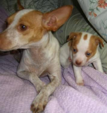 Adorable Rat Terrier Pups For Sale In Bastrop Texas Classified Americanlisted Com