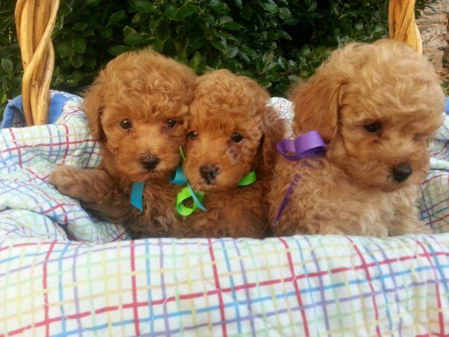 Adorable Red Apricot Male Akc Toy Poodle Puppies